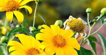 Hình ảnh hoa dã quỳ đẹp