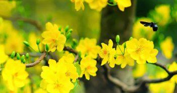 Hình nền hoa mai vàng đẹp rực rỡ