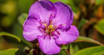 Hình nền hoa Mua đẹp nhất