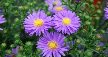 Hình nền hoa cúc tím thạch thảo tuyệt đẹp