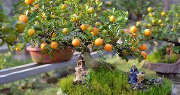 Hình ảnh cây quất ngày tết