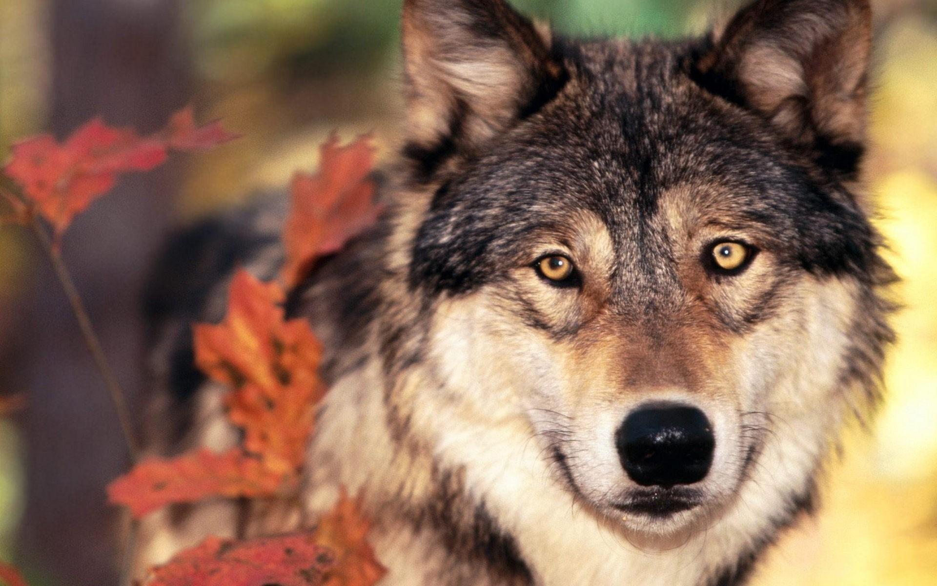 hình ảnh chó sói đẹp