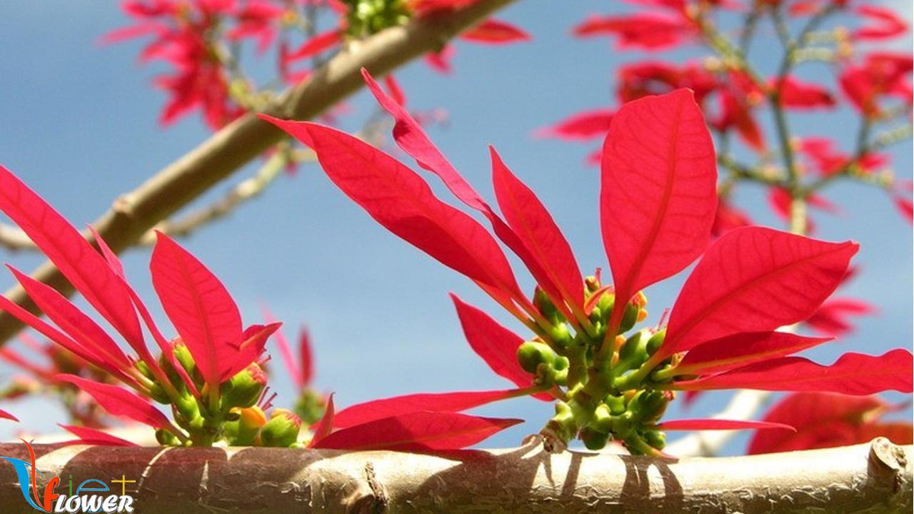 hinh anh hoa trang nguyen 22