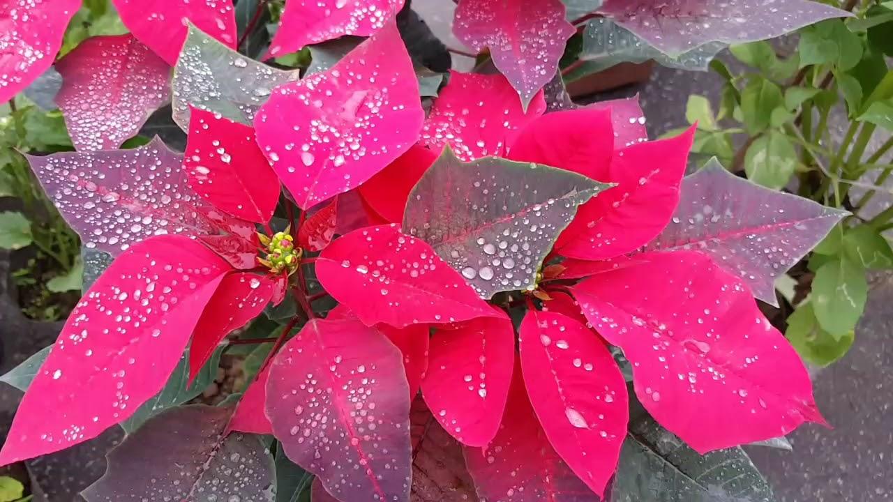 hinh anh hoa trang nguyen 26