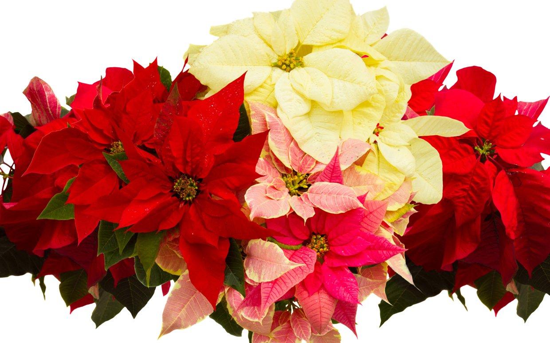 hinh anh hoa trang nguyen 29
