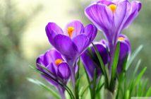 Hình ảnh hoa nghệ tây đẹp