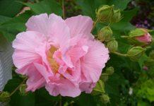 Hình ảnh hoa phù dung đẹp