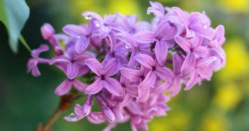 Hình nền hoa tử đinh hương đẹp nhất
