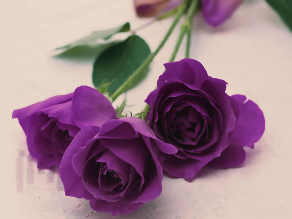 Ảnh hoa hồng tím tuyệt đẹp