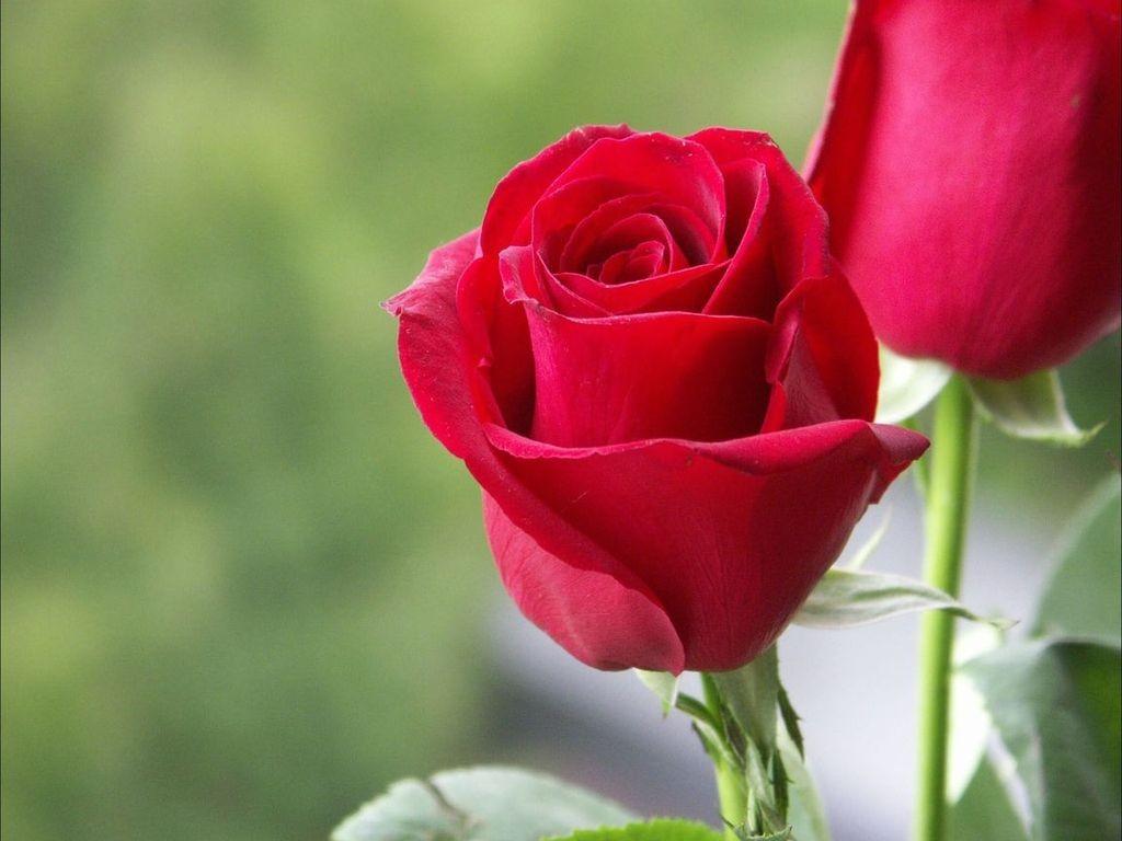 ảnh bông hoa hồng tình yêu đẹp