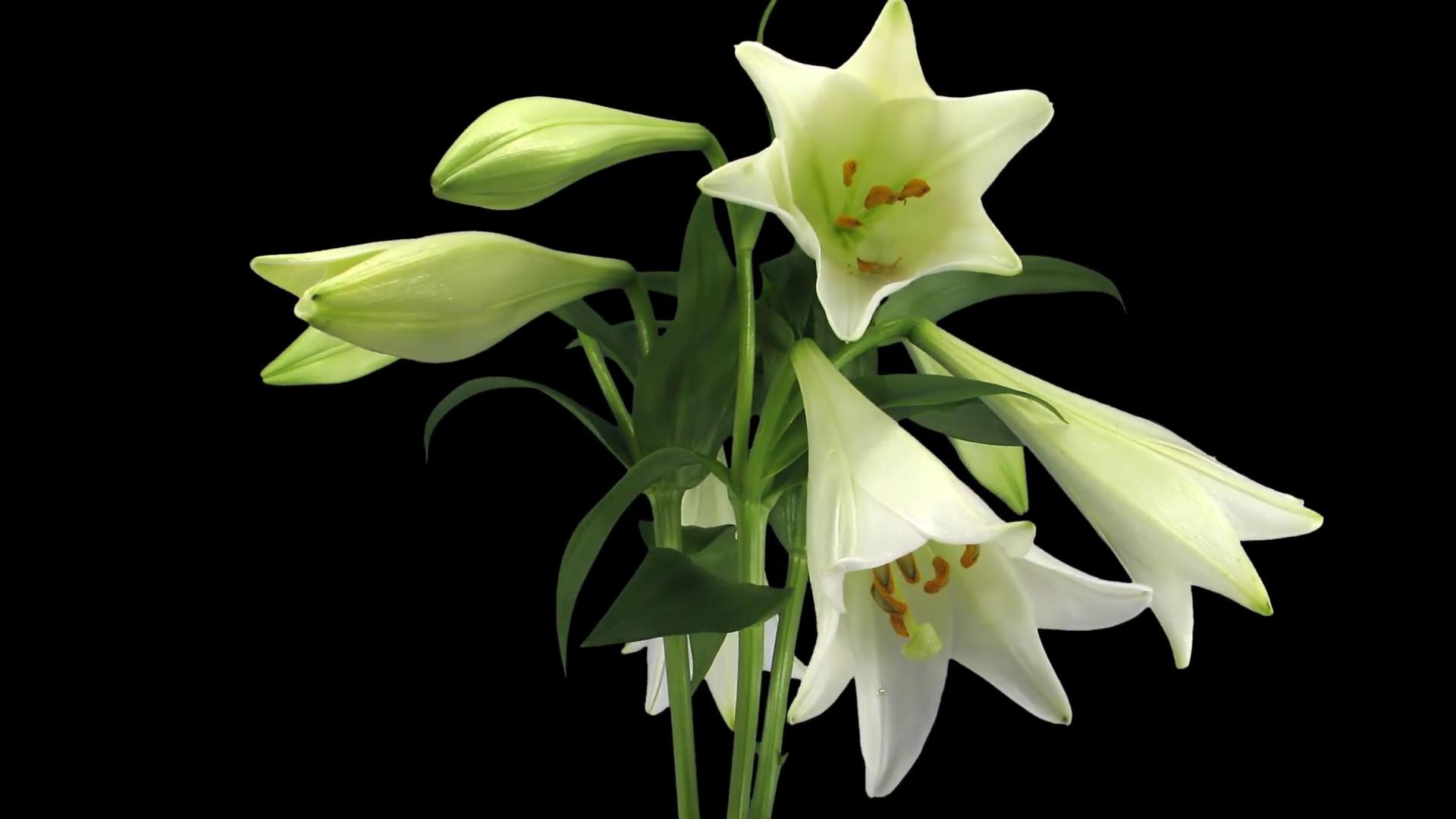 ảnh hoa lily đẹp