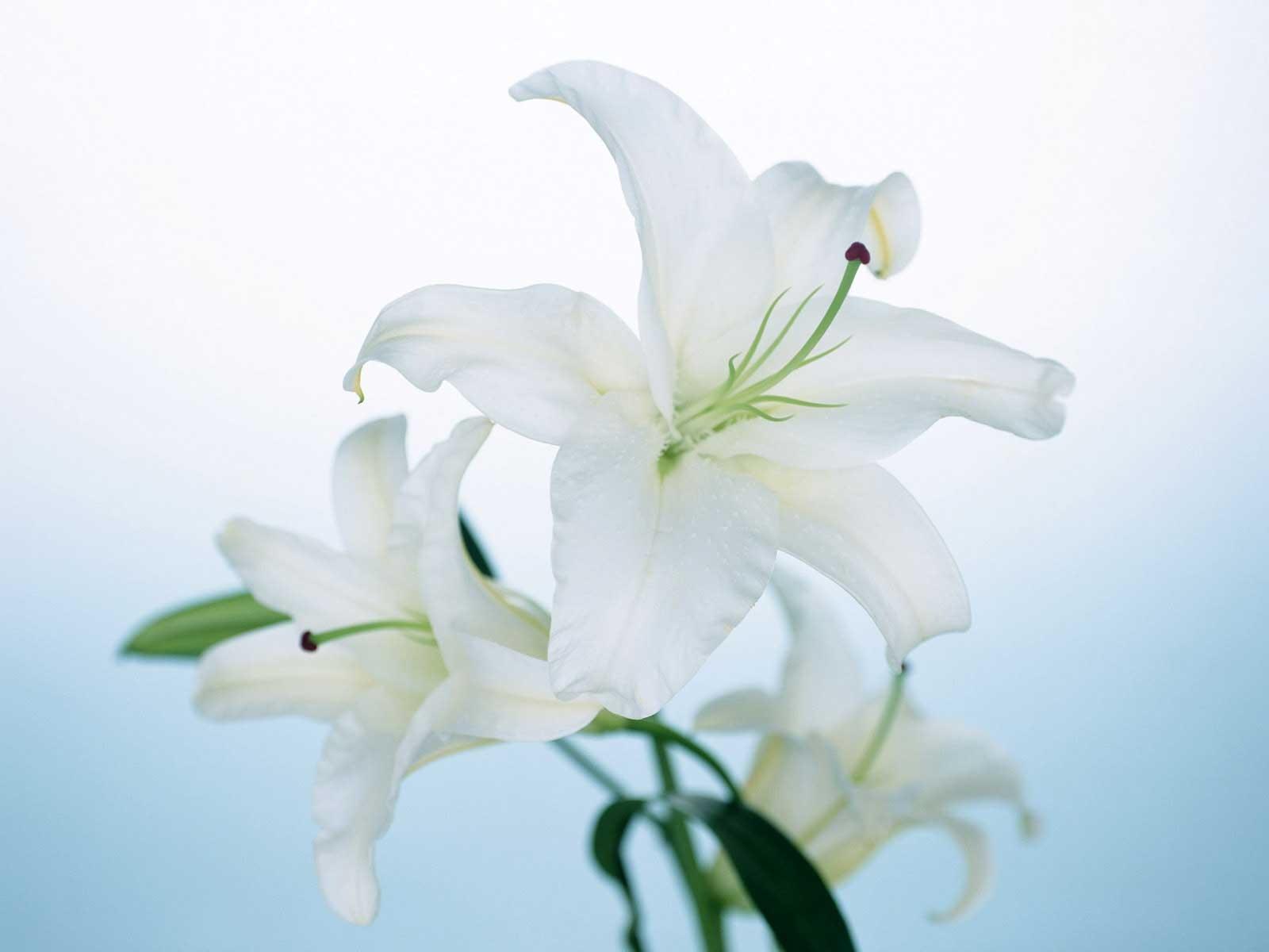 tải ảnh hoa lily