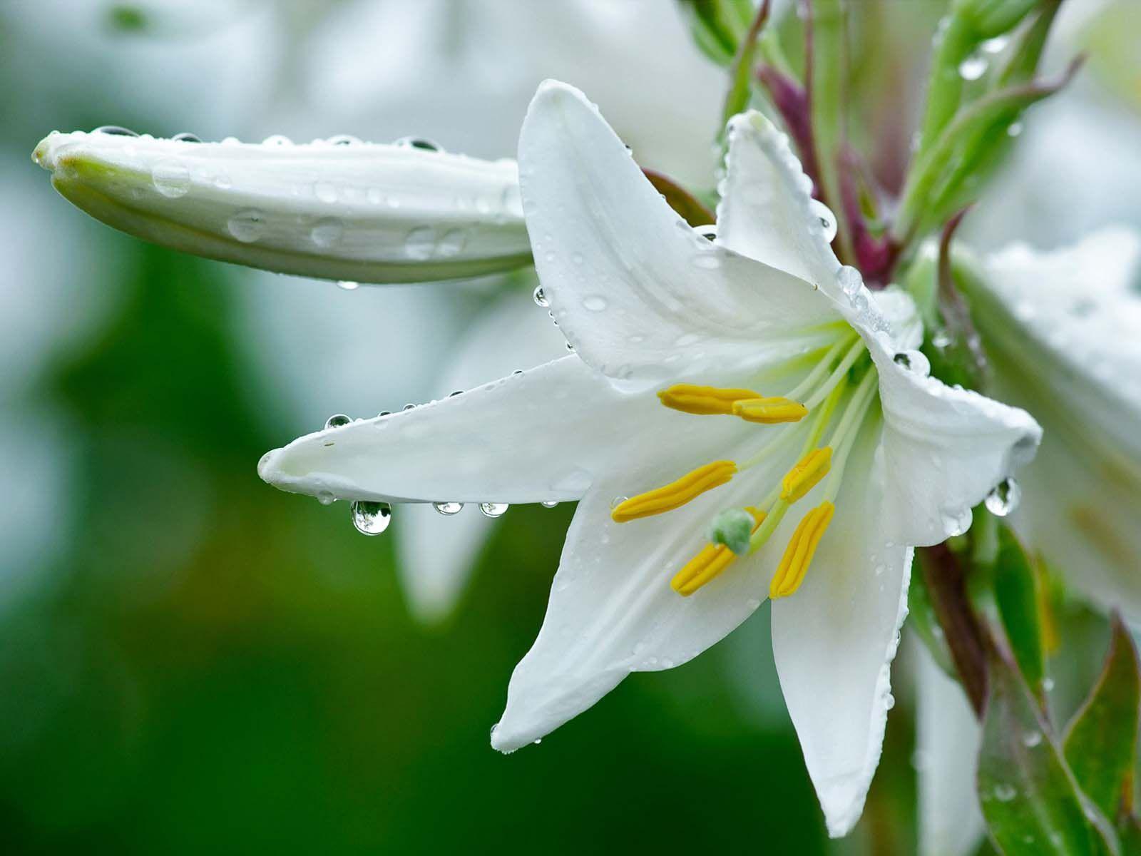 anh hoa lily dep 7