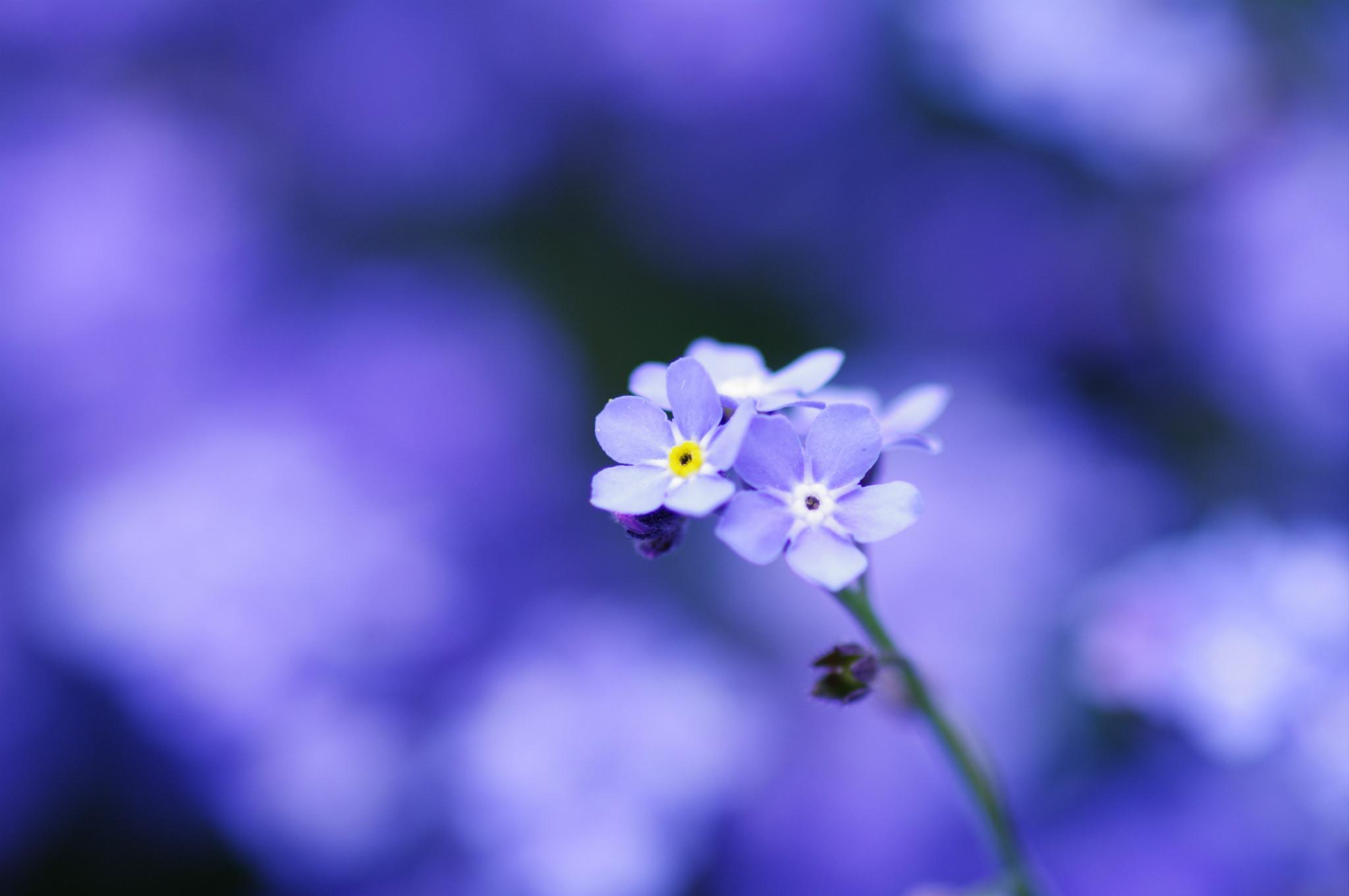 Xem ảnh hoa lưu ly