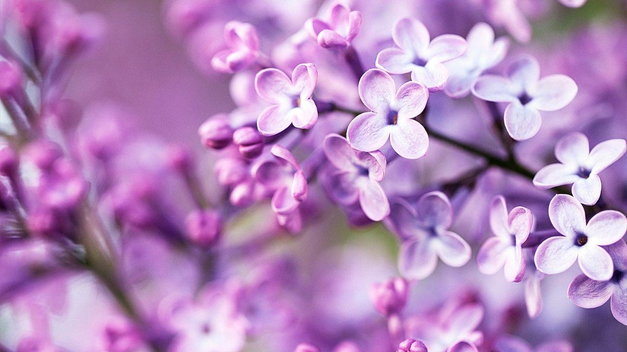 ảnh hoa tử đinh hương