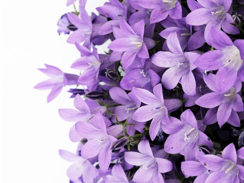 Hình hoa tử đinh hương đẹp nhất