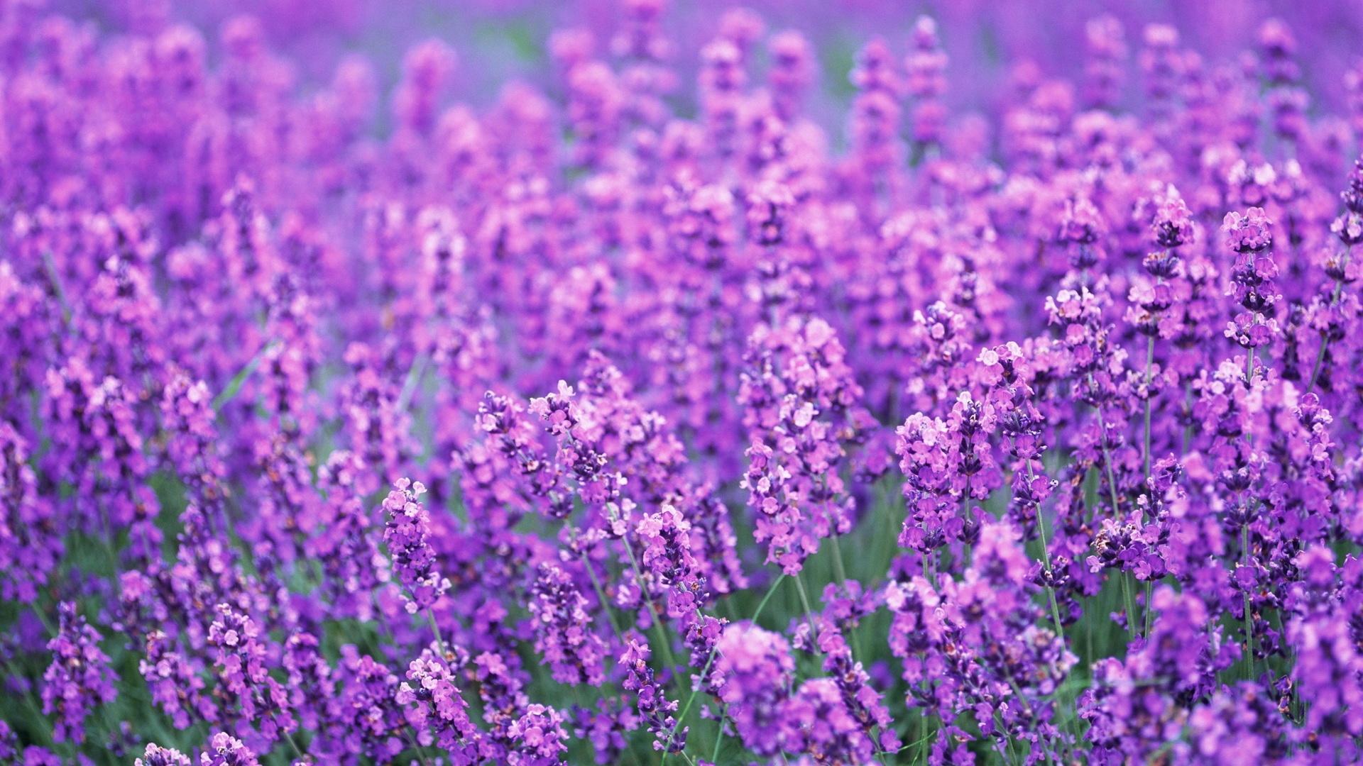 Ảnh hoa oải hương đẹp nhất