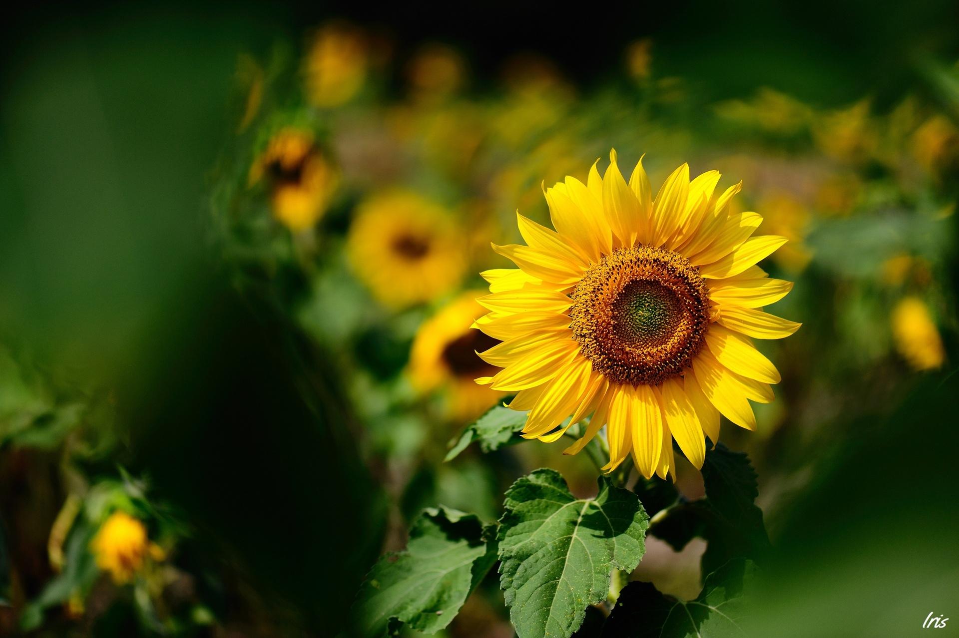 Ảnh hoa hướng dương đẹp