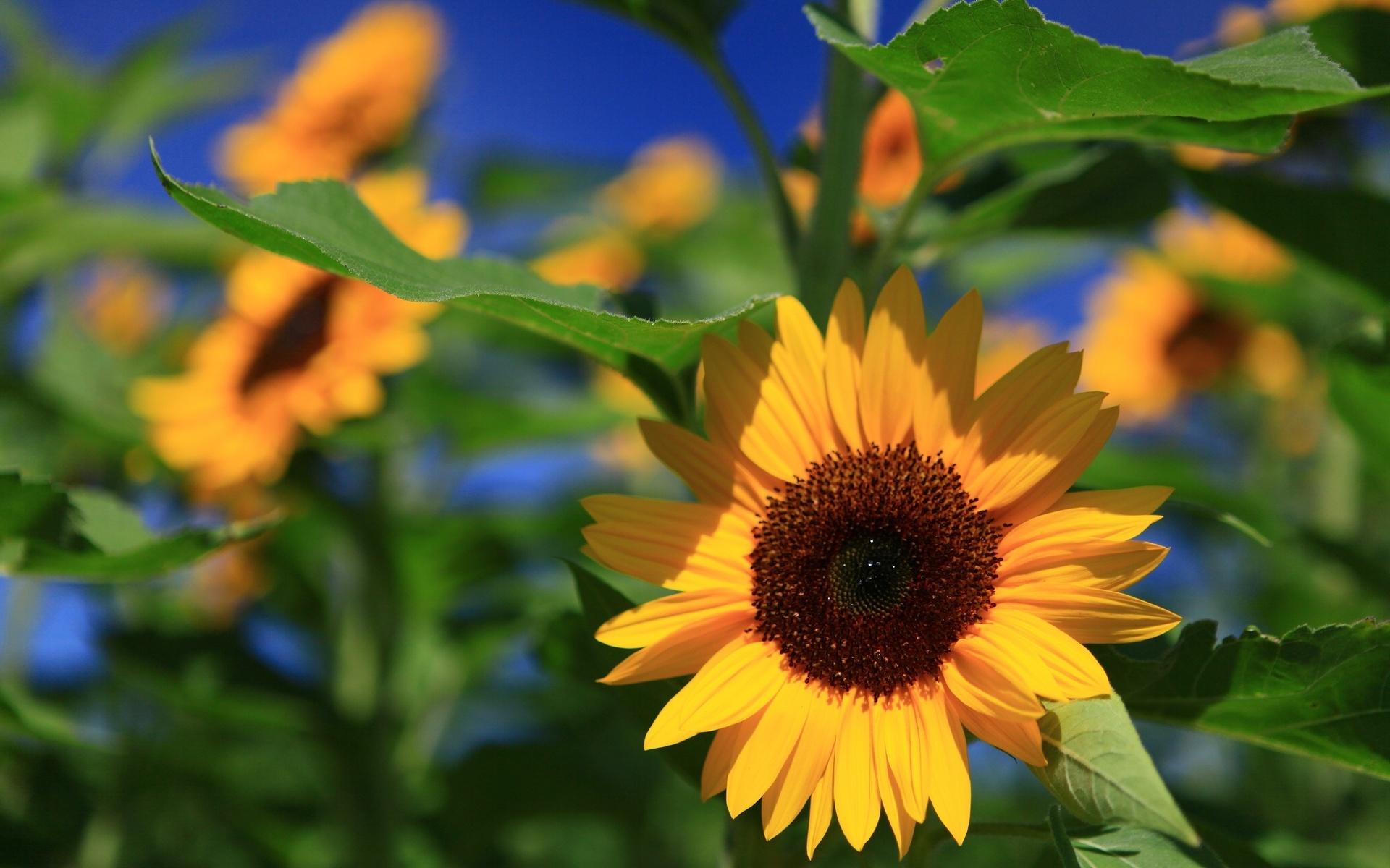 Xem ảnh hoa hướng dương