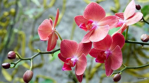 Hình Ảnh Các Loại Hoa Phong Lan Đẹp